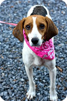 Beagle Mix Dog for adoption in West Grove, Pennsylvania - Mary