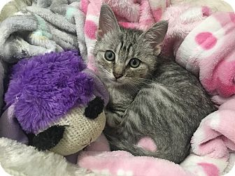 Domestic Shorthair Kitten for adoption in Newport Beach, California - Shelby