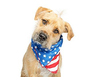 Irish Terrier/Labrador Retriever Mix Dog for adoption in Scottsdale, Arizona - Snoop