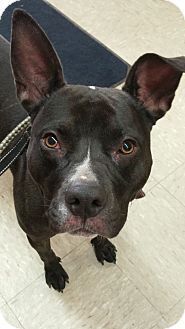 Pit Bull Terrier Mix Dog for adoption in Valley City, North Dakota - Prince