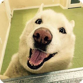 Husky/Samoyed Mix Dog for adoption in NYC, New York - Jay Jay Sinatra