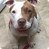 Adopt A Pet :: Tabby - Dana Point, CA