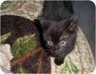 Domestic Shorthair Kitten for adoption in Syracuse, New York - Poe