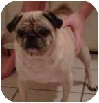Pug Mix Dog for adoption in Windermere, Florida - Rufus