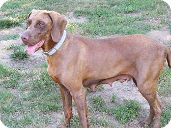 Vizsla/Weimaraner Mix Dog for adoption in Oregon, Ohio - LUCY #6  Vizsla Oregon