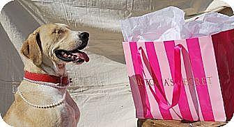Catahoula Leopard Dog/Great Pyrenees Mix Dog for adoption in Harrodsburg, Kentucky - Layla