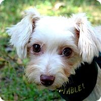 Adopt A Pet :: Buttercup - Mocksville, NC