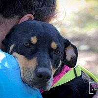 Rottweiler/Shepherd (Unknown Type) Mix Dog for adoption in Plano, Texas - Baby