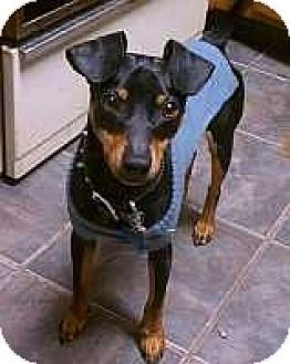 Miniature Pinscher Puppy for adoption in Nashville, Tennessee - Domino
