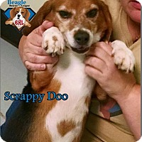Adopt A Pet :: Scrappy Do - Yardley, PA