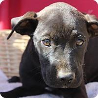 Adopt A Pet :: Suzie - Waldorf, MD