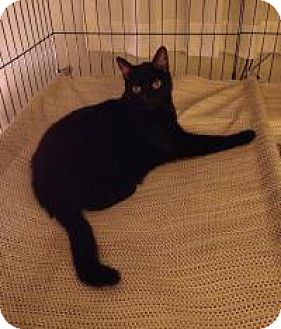 Domestic Shorthair Cat for adoption in Newark, Delaware - Vladimir