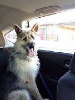 German Shepherd Dog/Irish Wolfhound Mix Dog for adoption in Mission Viejo, California - Buddy
