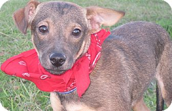 Dachshund/Whippet Mix Puppy for adoption in New Hartford, Connecticut - Ernie- super sweet baby boy!