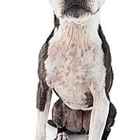 Adopt A Pet :: Daisy - Huntington Beach, CA
