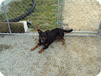 Corgi Mix Dog for adoption in Jamestown, Tennessee - Zeus