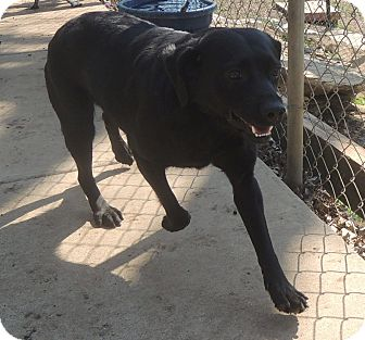 Labrador Retriever Mix Dog for adoption in House Springs, Missouri - Lilly