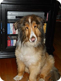 Sheltie, Shetland Sheepdog Dog for adoption in Mission, Kansas - Sam (3)