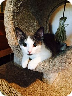 American Shorthair Cat for adoption in Tennent, New Jersey - Toby