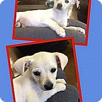 Adopt A Pet :: Shamrock - Scottsdale, AZ