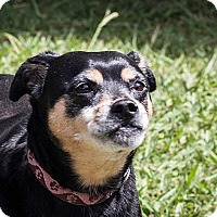 Miniature Pinscher/Pug Mix Dog for adoption in St Helena, California - Lisa