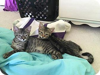 Domestic Shorthair Kitten for adoption in Chesapeake, Virginia - Daphne