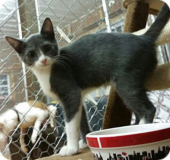 Domestic Mediumhair Kitten for adoption in Tallahassee, Florida - Coral
