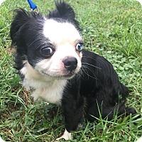 Adopt A Pet :: Scooter - Nashville, TN