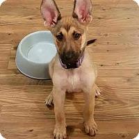 Adopt A Pet :: Yoda (Tula) - Morrisville, NC