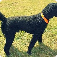 Standard Poodle Mix Dog for adoption in Hazard, Kentucky - Jasper
