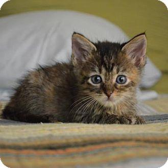 Domestic Shorthair Kitten for adoption in Austin, Texas - Jolie