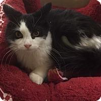 Adopt A Pet :: El Nino - Albany, NY