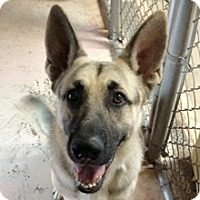 German Shepherd Dog Dog for adoption in Phoenix, Arizona - Barron
