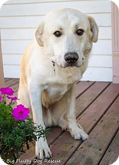 Great Pyrenees/Labrador Retriever Mix Dog for adoption in Enfield, Connecticut - Jasper
