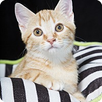 Adopt A Pet :: Pop - Nashville, TN