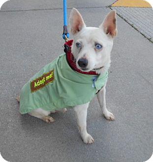 Rat Terrier Mix Dog for adoption in Ashland, Virginia - Stewie