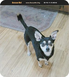 Chihuahua/Dachshund Mix Dog for adoption in Madison, Tennessee - Charlie - quiet & cuddly