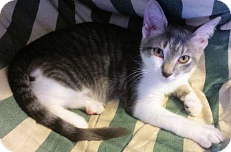 Domestic Shorthair Kitten for adoption in Morganton, North Carolina - Jack