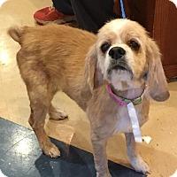 Cocker Spaniel Dog for adoption in Austin, Texas - Rosetta