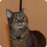 Domestic Shorthair Cat for adoption in Independence, Missouri - Nicky *CL*