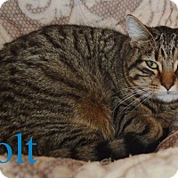 Adopt A Pet :: Bolt - Fryeburg, ME