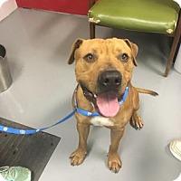 Adopt A Pet :: Red - Adrian, MI