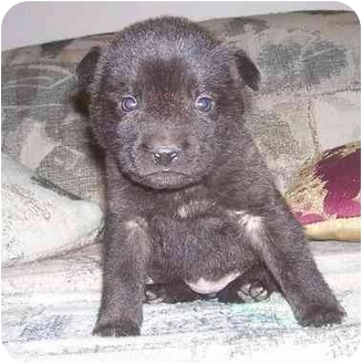 Mastiff/Boxer Mix Puppy for adoption in Chandler, Indiana - Mini