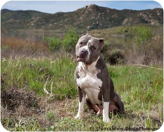 Mastiff pitbull mix neapolitan mastiff pitbull mix