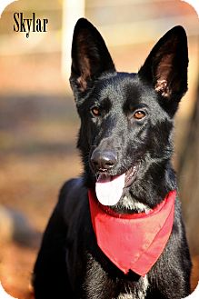 German Shepherd Dog Mix Dog for adoption in Wilmington, Delaware - Skyla