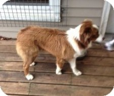 Australian Shepherd Dog for adoption in Elk River, Minnesota - Moose
