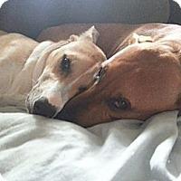 Adopt A Pet :: Hanna - Bardonia, NY