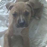 Adopt A Pet :: Pinot Noir - Phoenix, AZ