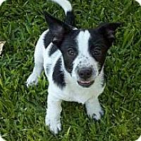 Adopt A Pet :: Spot - Bakersfield, CA