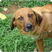 Adopt A Pet :: Corona  (amputee) - Allentown, PA